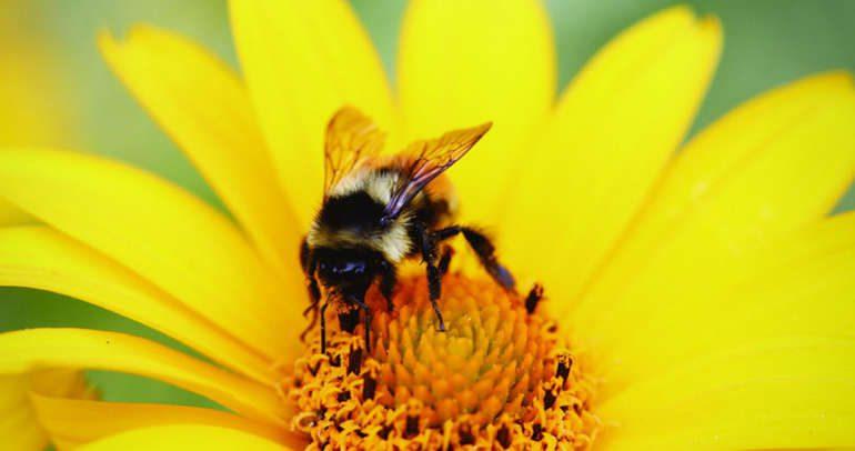 Бхрамари пранаяма или дыхание жужжащей пчелы